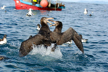 Northern Giant Petrel (Macronectes halli) pair fighting over fish offal discarded from a fishing boat, off Kaikora coast, South Island, New Zealand  -  Mike Potts/ npl