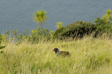 Takahe (Notornis mantelli), a rare reintroduced on Tiri Tiri Matangi Island, North Island, New Zealand  -  Mike Potts/ npl