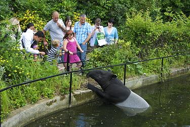 Malayan Tapir (Tapirus indicus) in London zoo watching visitors, captive, England  -  Dominic Johnson/ npl