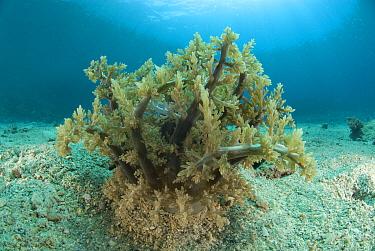 Branching sea anemone (Actinodendron glomeratum) Indo-pacific  -  Jurgen Freund/ npl