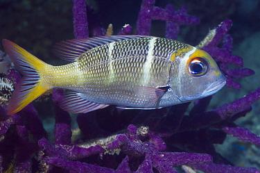Bigeye emperor (Monotaxis grandoculis) and purple encrusting sponge Misool, Raja Ampat, West Papua, Indonesia  -  Georgette Douwma/ npl