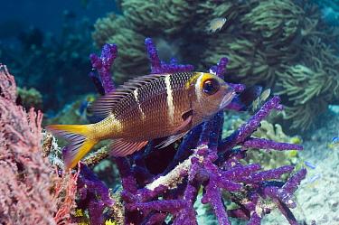 Bigeye emperor (Monotaxis grandoculis) with gorgonian coral and purple encrusting sponge, Misool, Raja Empat, West Papua, Indonesia  -  Georgette Douwma/ npl