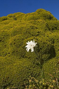 Vanilla Daisy (Leucheria suaveolens) in flower, moss mound in background, Cape Dolphin designated Wildlife Sanctuary, East Falkland, Falkland Islands  -  Pete Oxford/ npl