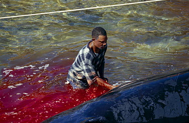 Humpback Whale (Megaptera novaeangliae) meat butchered by locals, Bequia, St Vincent and the Grenadines, Caribbean They have a license from the whaling commission to take 2 whales a year in order to m...  -  Barry Bland/ npl