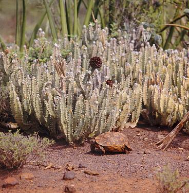 Hinged Tortoise (Kinixys belliana) beside Asclepiad (Caralluma russelliana), a tropical plant of the East African semi-desert  -  Jane Burton/ npl