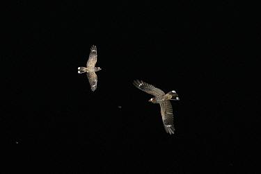 Madagascar nightjars (Caprimulgus madagascariensis) hawking for moths at dusk, Madagascar  -  Kim Taylor/ npl