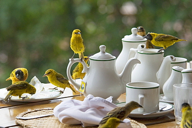 Masked-Weaver (Ploceus velatus) feeding on meal scraps from table with china crockery, Queen Elizabeth National Park, Uganda  -  Edwin Giesbers/ npl