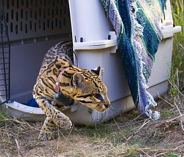 Ocelot (Felis pardalis) being released after having a radio collar put on, Laguna Atascosa National Wildlife Refuge, Texas, USA The largest known population of wild ocelots in the USA lives on this re...  -  Shattil & Rozinski/ npl