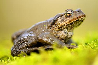 European Toad (Bufo bufo) on moss, Broxwater, Cornwall, United Kingdom  -  Ross Hoddinott/ npl