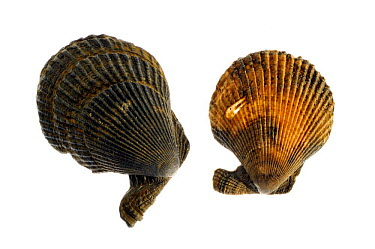 Variegated scallops (Chlamys, Mimachlamys varia), Belgium  -  Philippe Clement/ npl