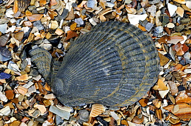 Variegated scallop (Chlamys, Mimachlamys varia) on beach, Belgium  -  Philippe Clement/ npl