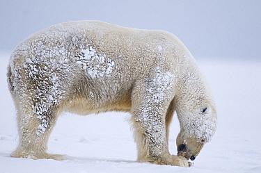 Polar Bear (Ursus maritimus) boar feeding on a piece of Bowhead whale (Balaena mysticetus) skin and blubber, muktuk, 1002 area of the Arctic National Wildlife Refuge, Arctic coast, Beaufort Sea, Alask...  -  Steven Kazlowski/ npl