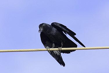 Fan tailed raven (Corvus rhipidurus) perched on wire, Dhofar, Oman  -  Hanne & Jens Eriksen/ npl