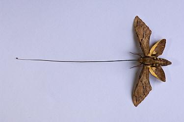 Darwin's Hawk Moth (Xanthopan morgani praedicta) showing etraordinarily long extended tongue From Andasibe-Mantadia National Park, Madagascar Pinned specimen  -  Nick Garbutt/ npl