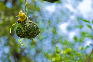 Masked-Weaver (Ploceus velatus) male brings nest material to nest, female in nest, Bogoria Lake, Kenya  -  Inaki Relanzon/ npl
