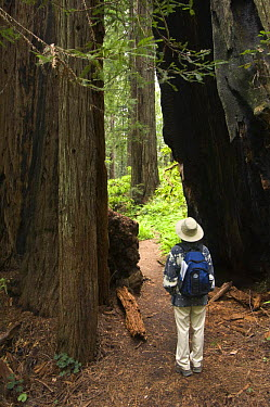 Coast Redwood (Sequoia sempervirens) and hiker forest, Prairie Creek State Park, California, model released  -  Rob Tilley/ npl