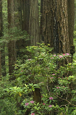 Coast Redwood (Sequoia sempervirens) and Coast, California rhododendron (Rhododendron macrophyllum) forest, Prairie Creek State Park, California  -  Rob Tilley/ npl