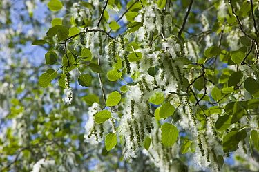 Silver-leaf Poplar (Populus alba) with seeds covered in thick white fluff to aid wind dispersal, Andalucia, Spain  -  Juan Carlos Munoz/ npl