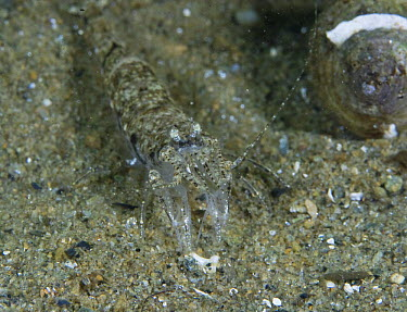 Common Shrimp (Crangon crangon) on sea bed, Loch Fyne, Scotland  -  Elaine Whiteford/ npl