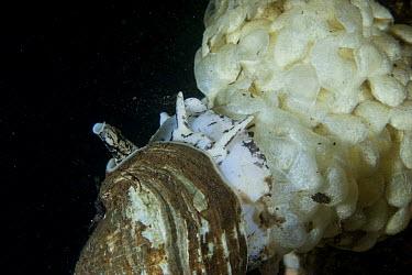 Common Northern Whelk (Buccinum undatum) laying egg mass in Loch Long, Scotland  -  Elaine Whiteford/ npl