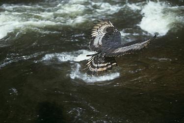 Crowned Eagle (Stephanoaetus coronatus) flying over Inyangombe falls, Nyanga, Zimbabwe,  -  John Downer/ npl