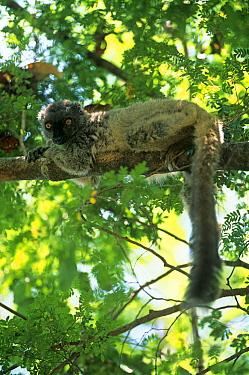 Sanford's Brown Lemur (Eulemur fulvus sanfordi) lying on branch, Ankarana Reserve, Madagascar  -  Pete Oxford/ npl