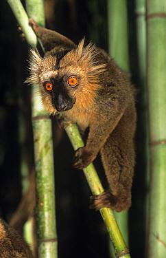 Sanford's Brown Lemur (Eulemur fulvus sanfordi) male Mt d'Ambre National Park, Madagascar  -  Nick Garbutt/ npl