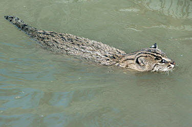Fishing Cat (Prionailurus viverrinus) swimming in river, Dudhwa National Park, India,  -  Toby Sinclair/ npl