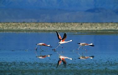 Chilean Flamingo (Phoenicopterus chilensis) taking off from lake, Salar de Atacama, Chile  -  Hanne & Jens Eriksen/ npl