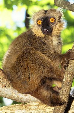 Sanford's Brown Lemur (Eulemur fulvus sanfordi) male portrait, Mt d'Ambre National Park, North Madagascar  -  Nick Garbutt/ npl