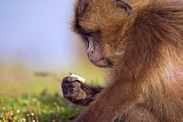 Gelada Baboon (Theropithecus gelada) picking up a cigarette butt left by a tourist, Simien Mountains National Park, Ethiopia  -  Fiona Rogers/ npl