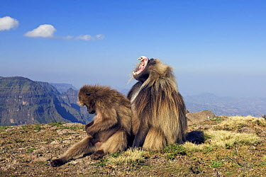 Gelada Baboon (Theropithecus gelada) male yawning while female sits and grooms, Simien Mountains National Park, Ethiopia  -  Anup Shah/ npl