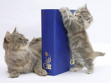 Maine Coon mother cat, Serafin, with kitten reaching with paws on 'Your Cat' binder  -  Mark Taylor/ npl