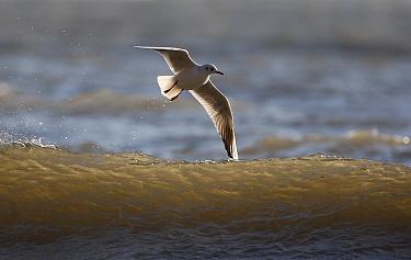Black-headed gull (Larus ridibundus) flying above wave, Filey, Yorkshire, UK  -  Paul Hobson/ npl