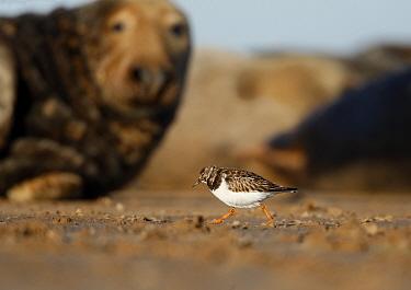Grey seal (Halichoerus grypus) watching Turnstone (Arenaria interpres) Lincolnshire coast, UK  -  Paul Hobson/ npl