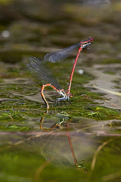 Large red damselfly (Pyrrhosoma nymphula), mated pair, female laying eggs (ovipositing) in pond with reflection in water, Bristol, UK  -  Michael Hutchinson/ npl