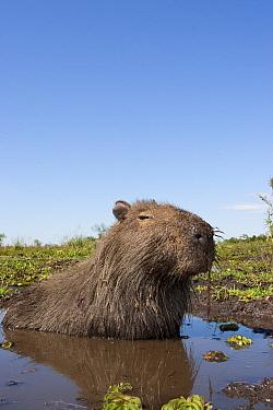 Capybara (Hydrochoerus hydrochaeris) wallowing in pool of water on marsh, Esteros del Ibera, Argentina  -  Michael Hutchinson/ npl