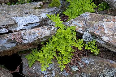 Parsley fern (Cryptogramma crispa) growing amongst rocks, Cwm Idwal, Snowdonia, Wales, UK  -  Adrian Davies/ npl