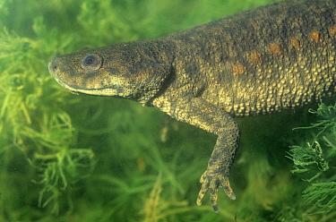 Sharp ribbed salamander (Pleurodeles waltl) underwater, Spain  -  Jose B. Ruiz/ npl