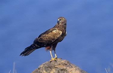 Brown Snake Eagle (Ciraetus cinereus) perched on rock, Chobe NP, Botswana  -  Tony Heald/ npl
