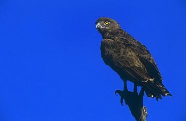 Brown snake eagle (Circaetus cinereus) perched, Kruger National Park, South Africa  -  Francois Savigny/ npl