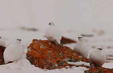 Rock ptarmigan (Lagopus mutus) on lichen covered rock, Brown island, Nunavut, Canada  -  Ian Mccarthy/ npl