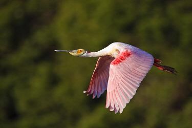 Roseate spoonbill (Ajaia ajaia) in flight, Alafia Banks Preserve, Florida, USA, March  -  Jeff Vanuga/ npl