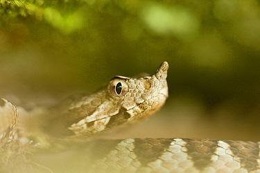 Long-nosed, Sand viper (Vipera ammodytes) portrait, Djerdap National Park, Serbia, June 2009  -  WWE/ Smit/ npl