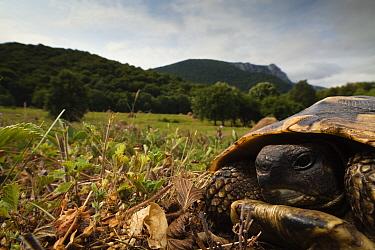 Hermann's tortoise (Testudo hermanni) portrait, Djerdap National Park, Serbia, June 2009  -  WWE/ Smit/ npl