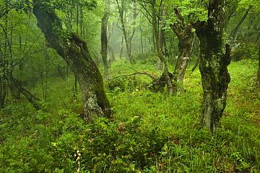 Old growth Lime (Tilia sp) forest, Djerdap National Park, Serbia, June 2009  -  WWE/ Smit/ npl