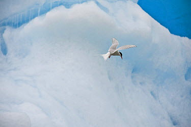 Arctic Tern (Sterna paradisaea) flying past an iceberg, Svalbard, Norway  -  Andy Rouse/ npl