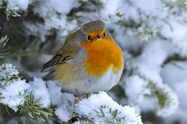 European Robin (Erithacus rubecula) perched in snow, Wales, UK, January  -  Andy Rouse/ npl
