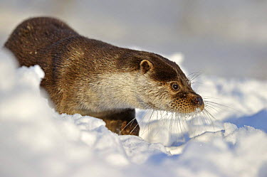 European Otter (Lutra Lutra) in deep snow, UK, captive  -  Andy Rouse/ npl