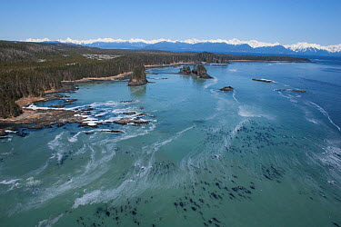 Aerial view of coastline near Sitka, sea covered in Pacific herring (Clupea pallasii) spawn, South East Alaska, March 2007  -  Hugh Pearson/ npl